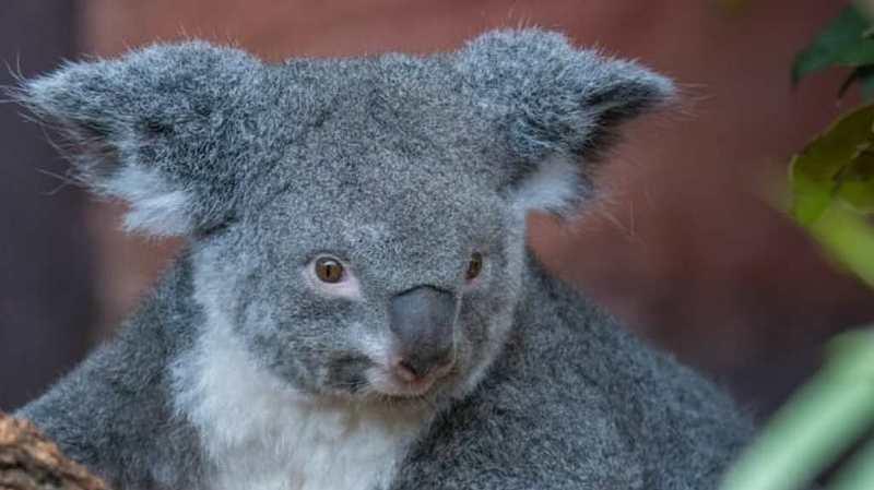 Zoo de Zurich: pour la première fois, les koalas ont donné naissance à un petit