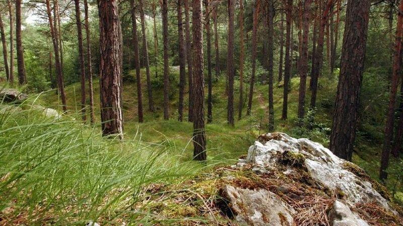 Bois de Finges: les pins sylvestres ont une «mémoire» écologique