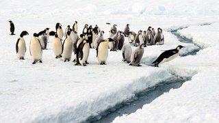 Nouvelles colonies de manchots empereurs découvertes en Antarctique