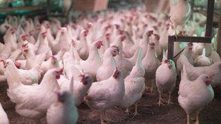 Coronavirus: la Chine découvre le virus dans de la viande de poulet importée du Brésil