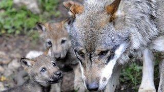 Un comité valaisan contre la révision de la Loi sur la chasse