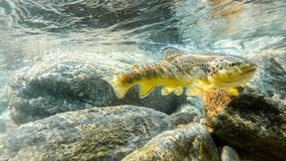Pollution: les poissons suisses meurent à cause des engrais et des pesticides