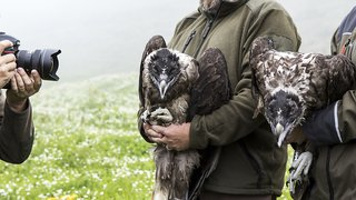 Faune: pour la première fois en 100 ans, un gypaète barbu est né dans l'Oberland bernois