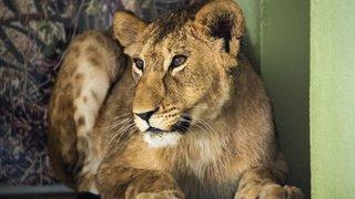 Arrivée d'une jeune lionne au zoo de Servion