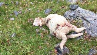 Bourg-Saint-Pierre: une cinquantaine de moutons victimes du loup à Valsorey