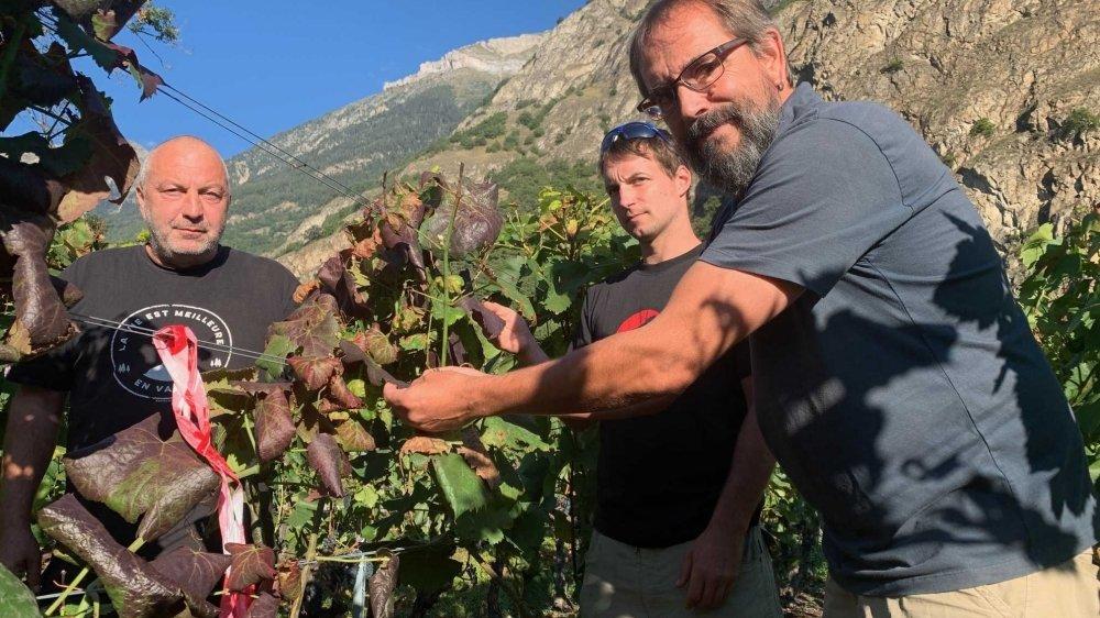 Sébastien Dorsaz, Jérémy Gay et Stéphane Emery au chevet d'un cep atteint de la jaunisse de la vigne.