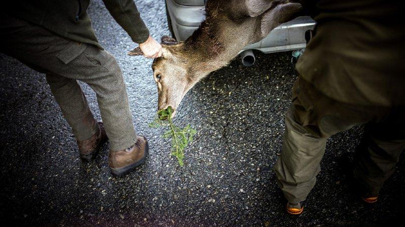 Valais: plus de 2000 cerfs à tirer, les objectifs de la chasse 2020
