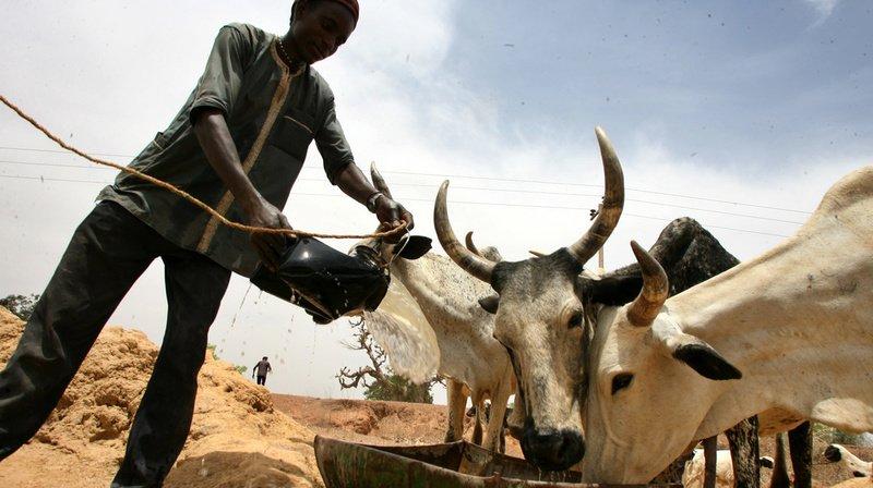 Auparavant, les fermiers laissaient leurs vaches paître librement à la merci des lions (illustration).