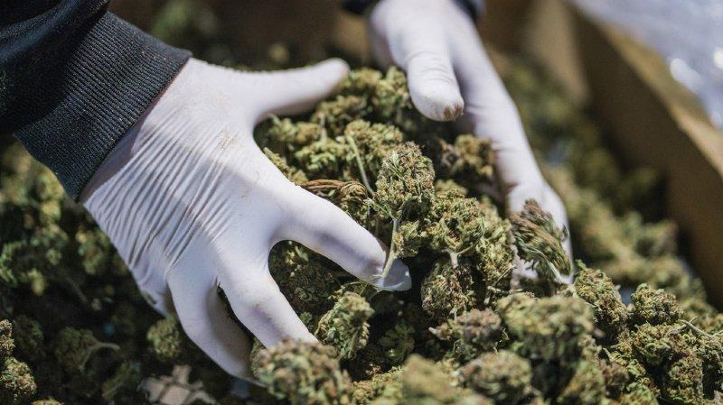 Cannabis: la justice saisit ses graines certifiées légales