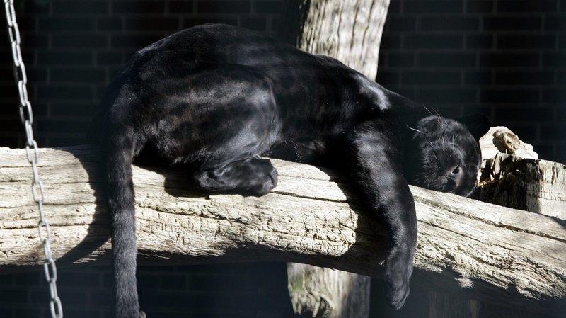 La panthère noire (ici celle du zoo de Berlin, en 2007) est en réalité un léopard atteint de mélanisme, une mutation génétique qui lui donne cette robe noire.