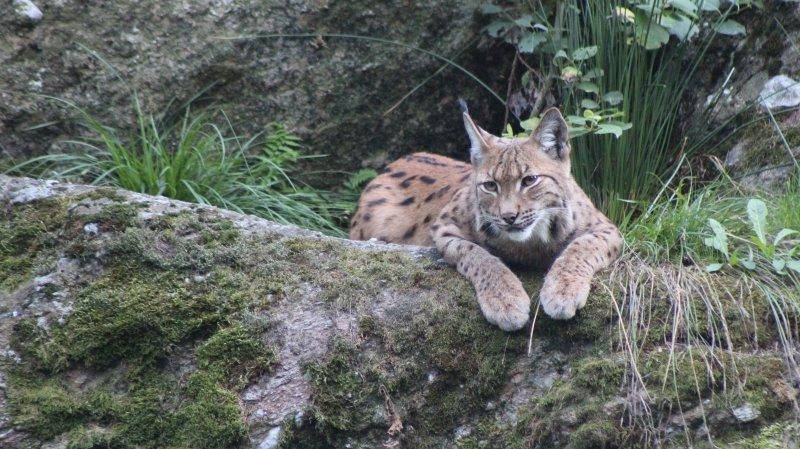 Lynx: un biologiste soupçonne braconniers et gardes-chasses valaisans de collusions