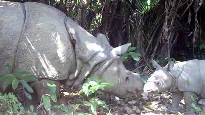 Indonésie: bébés rhinocéros de Java repérés dans un parc national