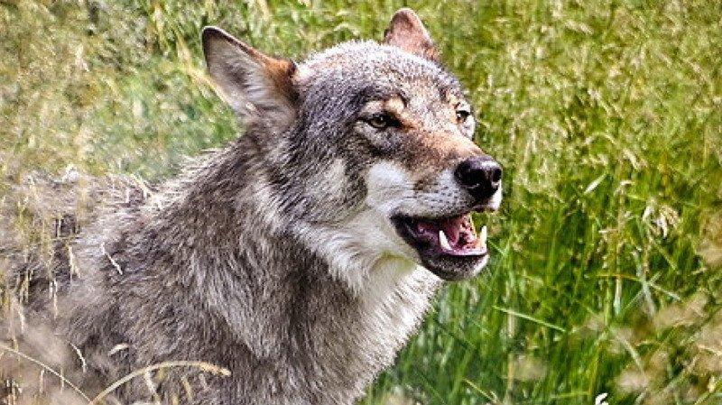 Un loup est suspecté d'avoir tué un mouton dans le canton de Schwyz (archives).