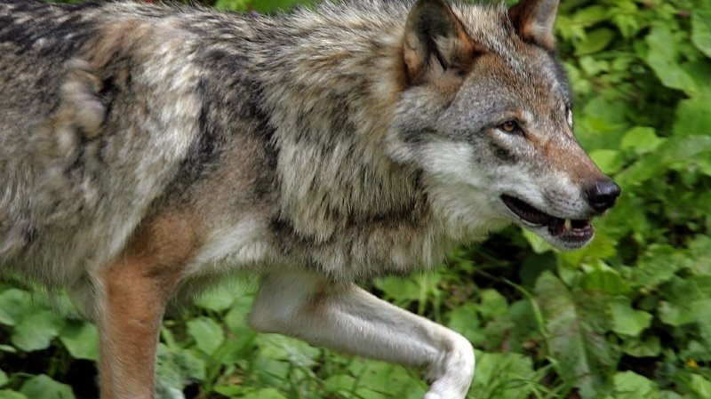 Des analyses ADN sont en cours pour déterminer si ce sont bien des loups qui sont les auteurs des récentes attaques dans le Jura vaudois ainsi que leur provenance, selon le canton (archives).