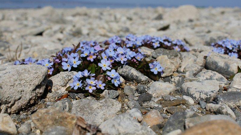Le myosotis de Rehsteiner est une relique glaciaire qui pousse sur les berges inondables des lacs et des cours d'eau, au bord du lac de Constance notamment.