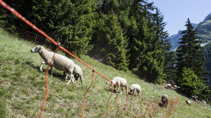 Nos moutons sont-ils assez bien gardés pour échapper au loup?