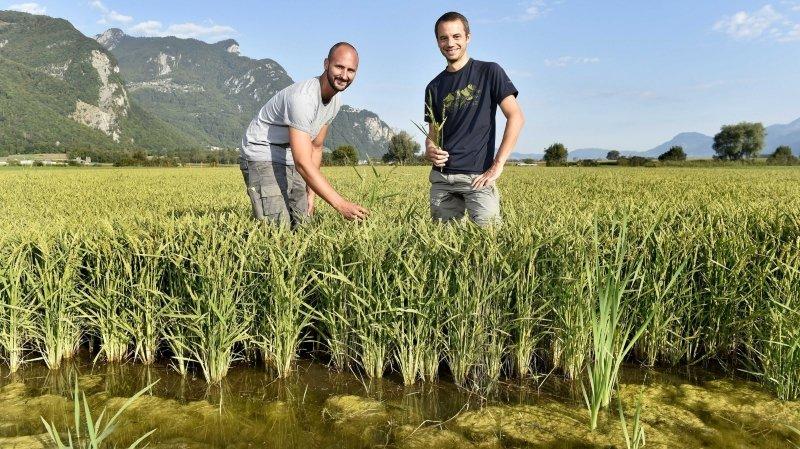 Valais: les premiers épis de riz local et écologique mûrissent au soleil de Vionnaz