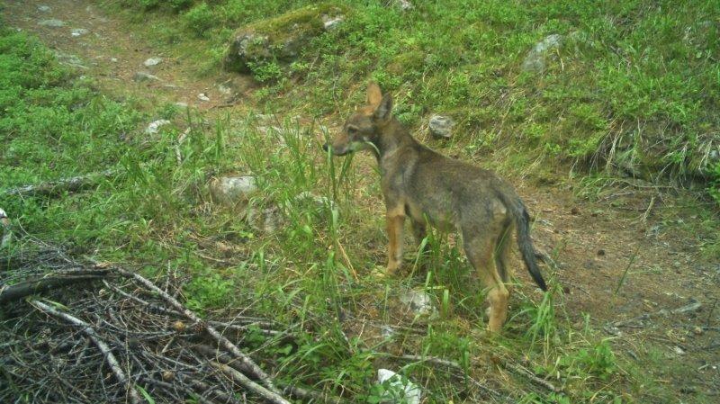 Torgon: un louveteau a été tué par balle
