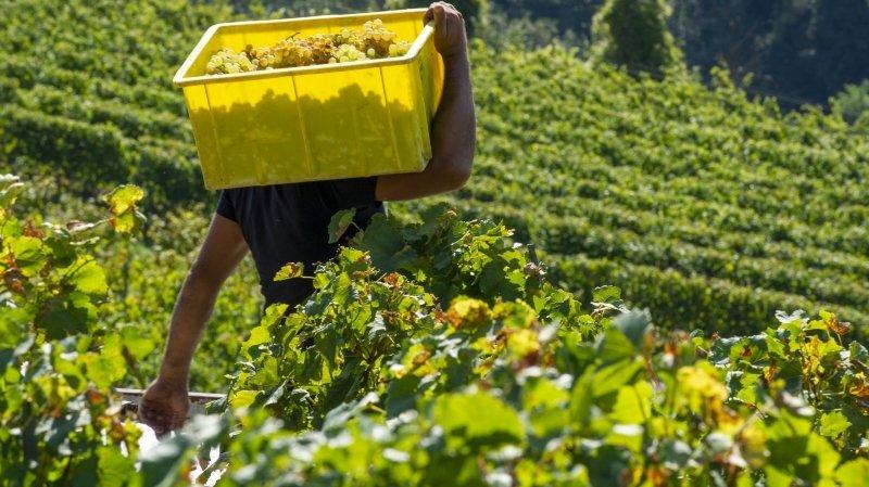 La viticulture valaisanne s'organise pour placer le raisin