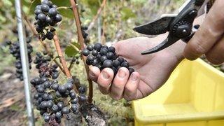 Des vignerons vont-ils vendanger pour rien?