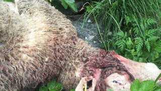 Bourg-Saint-Pierre: le loup croqueur de moutons ne sera pas tiré