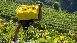 Malgré les craintes, la vendange des vignerons valaisans a trouvé preneur